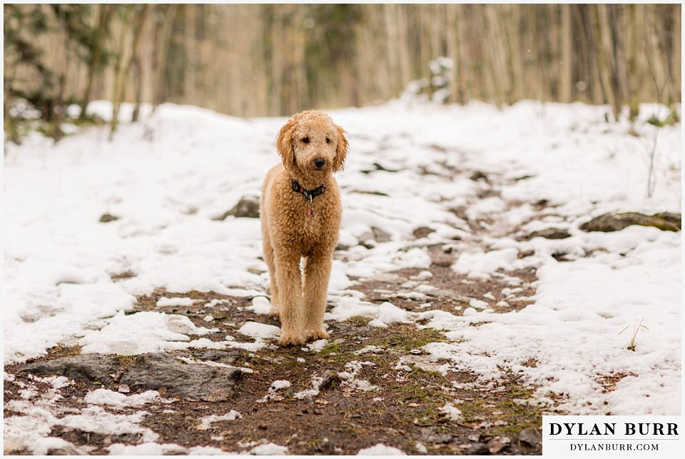 colorado mountain engagement session labradoodle dog playing in snow