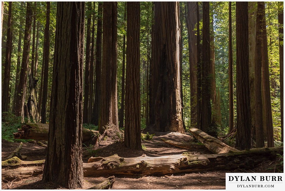 redwood forest wedding elopement avenue of the giants california giant trees